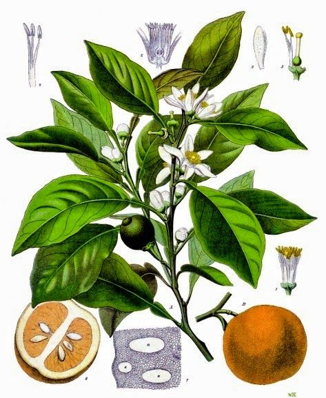 Tutto cominciò...: Neroli (fiori d'arancio), olio essenziale