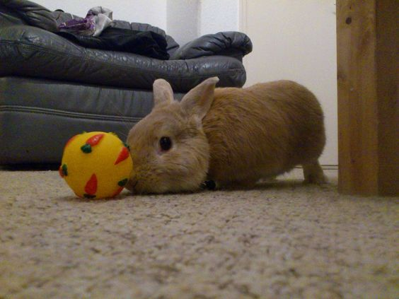 More Than Just A Chewstick - Toys for rabbits are necessities, along with a proper diet, a well thought out living set-up, and excellent medical care. Why? Toys are the key to three fundamental aspects of life with a house rabbit: mental stimulation, physical exercise, and bunny proofing your house...