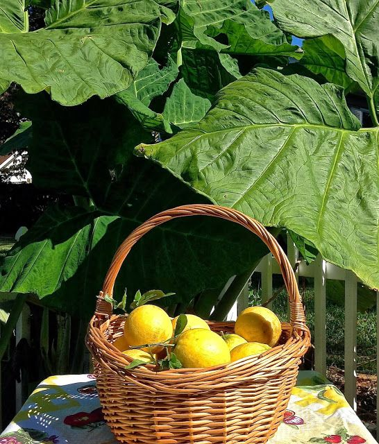 Meyer Lemons - Giving and Receiving - Fairhope Supply Co.