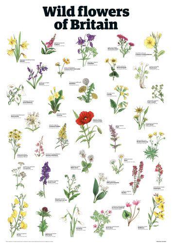Wild flowers of Britain - Guardian Wallchart Prints - Easyart.com
