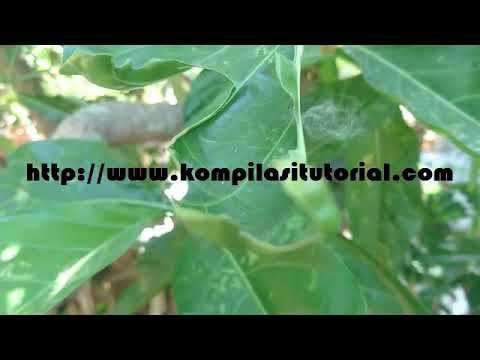 Ciri Ciri Dan Manfaat Buah Pace Atau Mengkudu Atau Noni Bagi Kesehatan Ciri Herbalism Plant Leaves