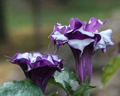 Photography by Leedra: Purple Angel Trumpet Tree- I want one of these real bad!
