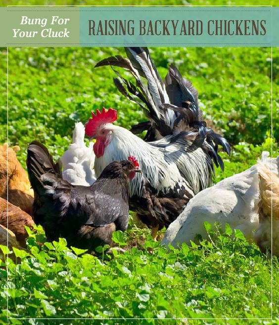 Raising Urban Backyard Chickens : backyard chickens homesteads backyards how to raise chickens raising