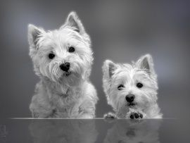 I can't wait to get another sweet Cricket! Westies are the best!