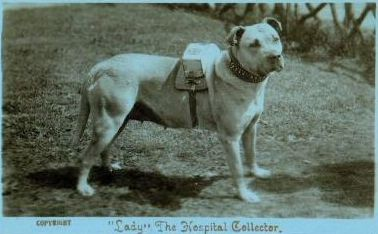 """""""Lady"""", The Hospital Collector. Pit Bulls have a long history as people pleasers and before we forgot that, they were often used for jobs such as the one Lady here is doing."""