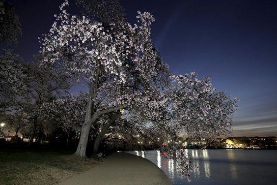 Στα ροζ η Ουάσιγκτον: Ανθισαν οι 3.000 κερασιές με την ιστορία των 104 ετών  thetoc.gr