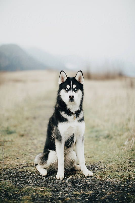 Blue Eyed Husky Dog Sits In Misty Foggy Field Download This High