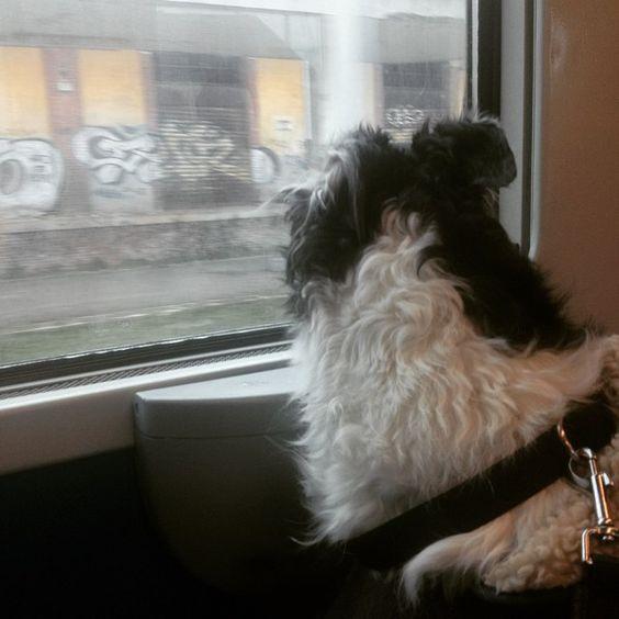 Travelling... also in train... #borzoi #AskAzu