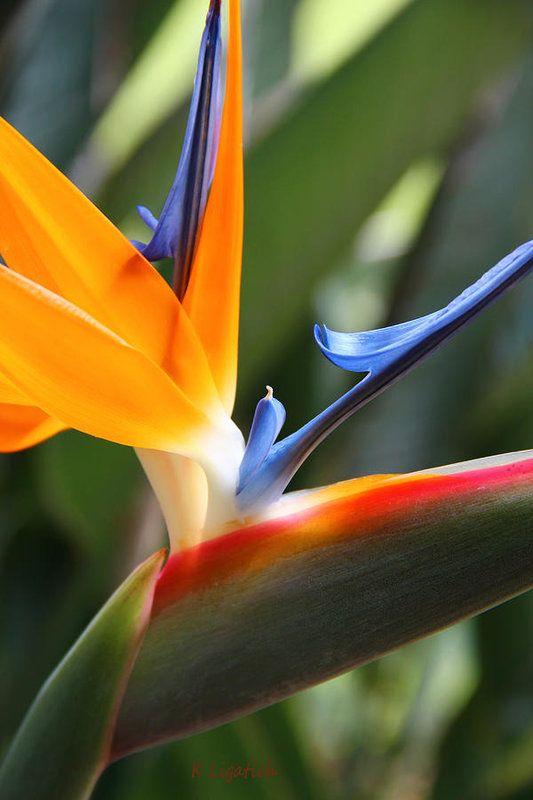 Pin On Bird Of Paradise