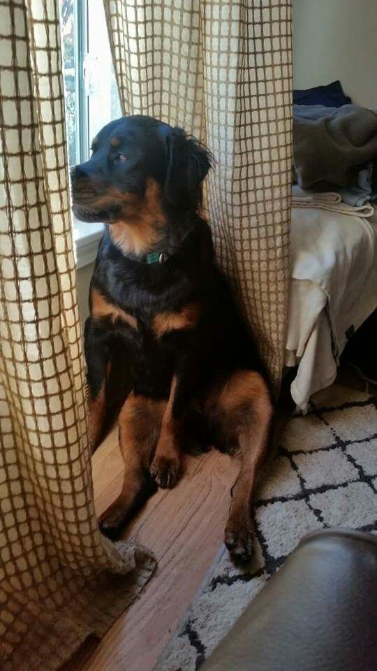 Notitle Gia Bo Rottweiler Dog Dog Breed Names Dogs