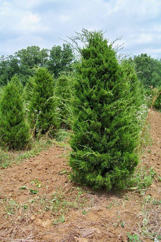 Red Cedar Juniper ~ Juniperus virginiana glauca lollyville pinterest
