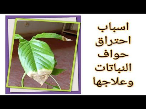 احتراق حواف اوراق النباتات المنزلية وكيفية علاجها هااام جدا لازم تشوفوه للاخر Youtube House Plants House Plants Indoor Plant Problems