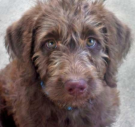 Puppy face, Australian labradoodle and Chocolate on Pinterest