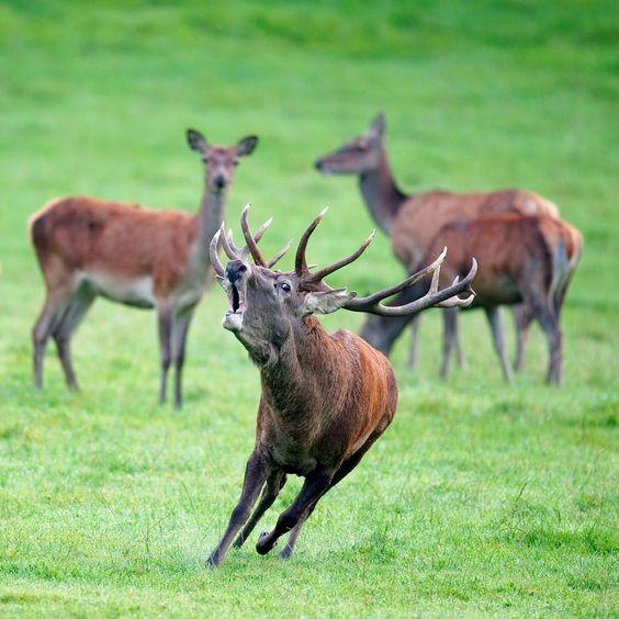 le brame du cerf, dans les Ardennes