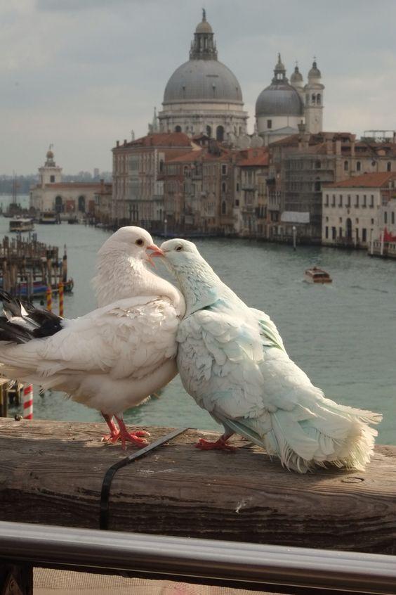 White doves and domes of the Santa Maria della Salute in the background.: