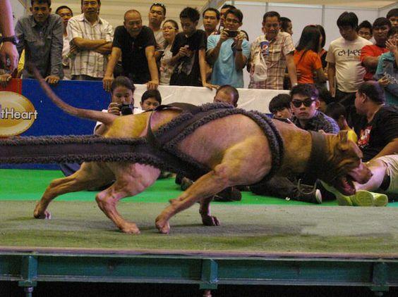 Apbt Dog Training