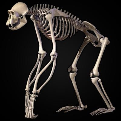 Chimpanzee skeletal system. You can see how the spine ...