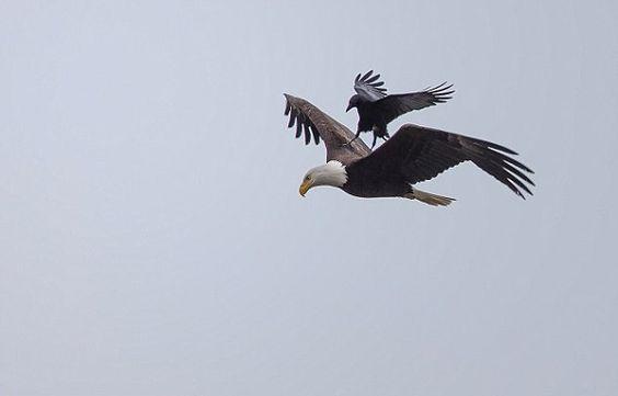 Corvo 'descansa' sobre asas de águia em pleno voo nos EUA | RedeTV! Em rede com você.