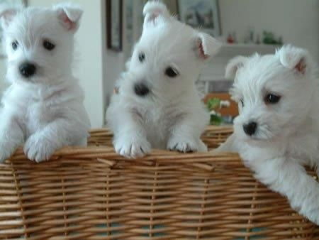 westie puppies adorable but please do not buy puppies. Black Bedroom Furniture Sets. Home Design Ideas