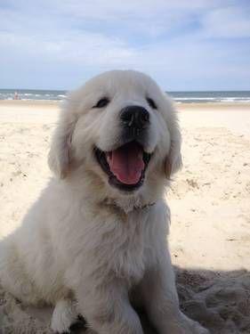 Cute English Cream Golden Retriever Puppy   Love Cute Animals