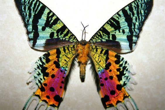 Sunset Moth from  Madagascar