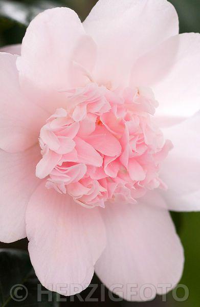 "Camellia japonica ""Kewpie Doll"" - Kamelie"