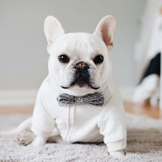 Theo Bonaparte, the French Bulldog, #theobonaparte on instagram.