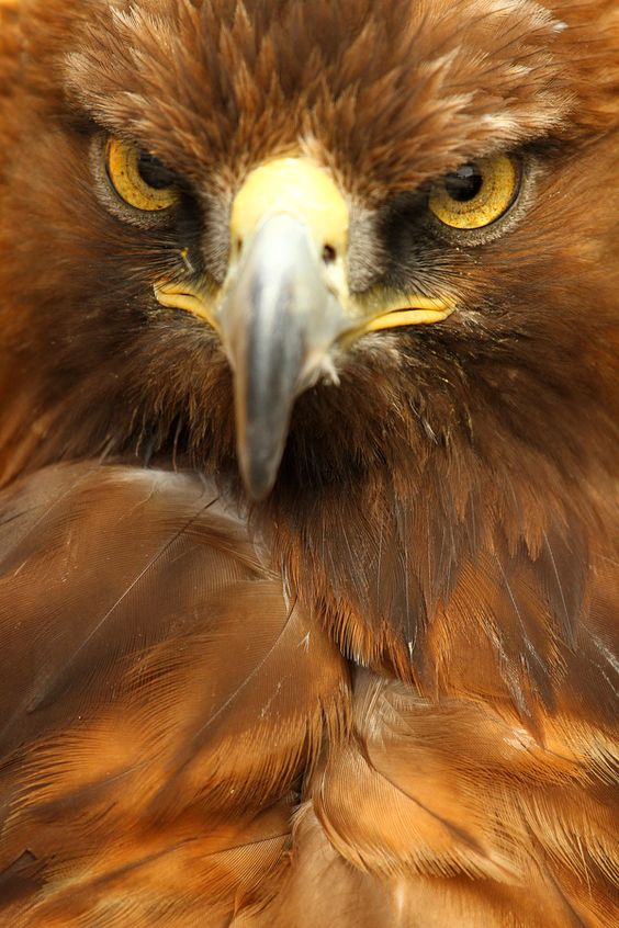 ~~Golden Eagle ~ a huge bird of prey by Alan Hinchliffe~~
