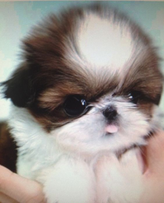 I wanna cry, it's too cute!!! I just love shih tzu puppies!!! I want one just like this one! SHE WILL BE COMING SOON!