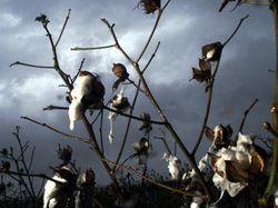 Científicos han desarrollado un algodón que absorbe agua del aire, llegando a acumular hasta 340 por ciento su propio peso.