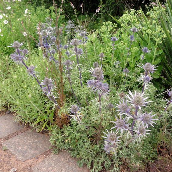 Bourgats Mannstreu (Eryngium bourgatii) gehört in allen sonnig-trockenen Pflanzungen zur ersten Wahl.