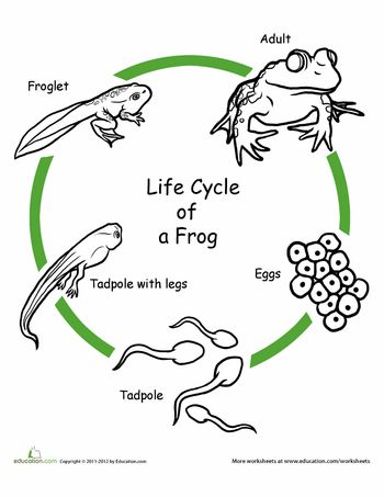 Worksheets: Color the Life Cycle: Frog - site has many free ...