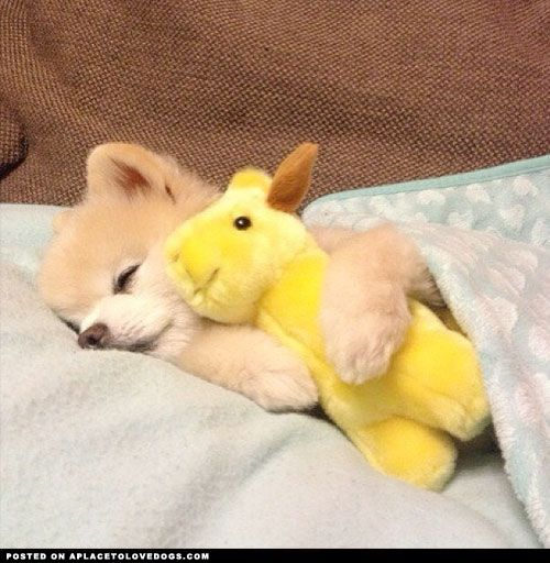 Sweet Pomeranian puppy Shun all tucked in and ready for bed
