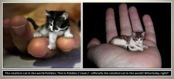 the smallest cat in the world pebbles this is pebbles sand officially the smallest cat in the world what baby right pinterest cat and animal - Smallest Cat In The World Guinness 2013