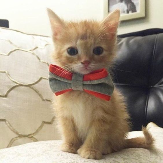 Kitten in bow tie - The cutest