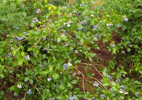 How the Civil War Made the Wild Maine Blueberry Go National - New England Historical Society
