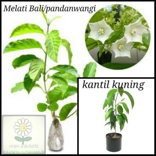 Gambar Bunga Melati Dan Kantil Tanaman Hias Bunga Melati Bali Pandanwangi Bunga Kantil Kuning Makan Bunga Melati 026 Bunga Melat Gambar Bunga Bunga Gambar
