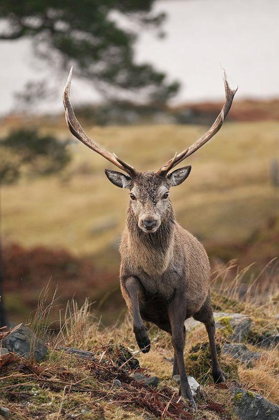 ☀Red Deer Stag off for a trot by Margaret J Walker*