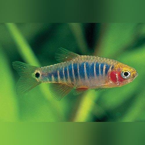 Micro Tiger Rasbora Salt Water Fishing Tropical Fish Aquarium Fish