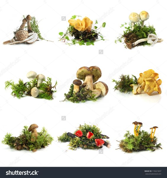 Mushroom Collection - From Top Left: Young Parasol, Hare'S Ear, Champignon, Puffball, Boletus, Chanterelle, Bay Bolete, Scarlet Cup, Yellowfoot Stock Photo 119221837 : Shutterstock