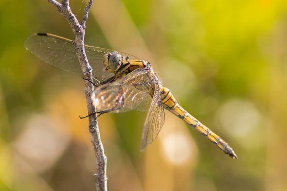 Blaupfeil Weibchen im Parc natural de s'Albufera des Grau.