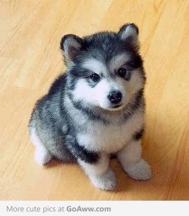 Pomeranian Husky! So cute