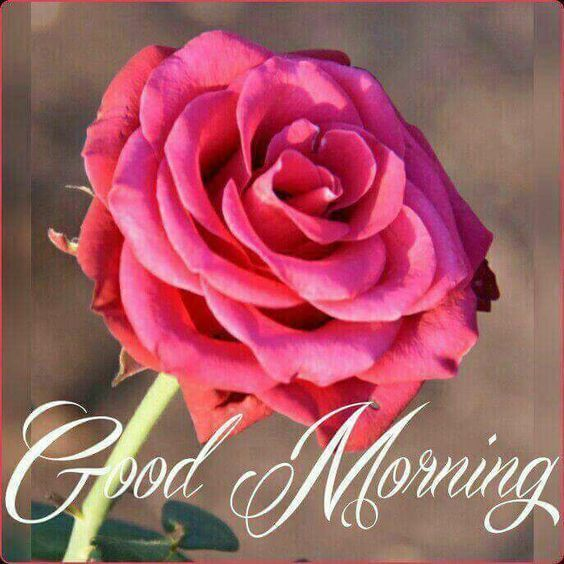 Full Pink Rose Good Morning With Images Good Morning Flowers