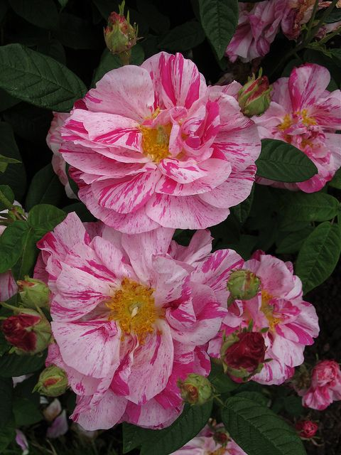 Rosa Mundi - striped rose