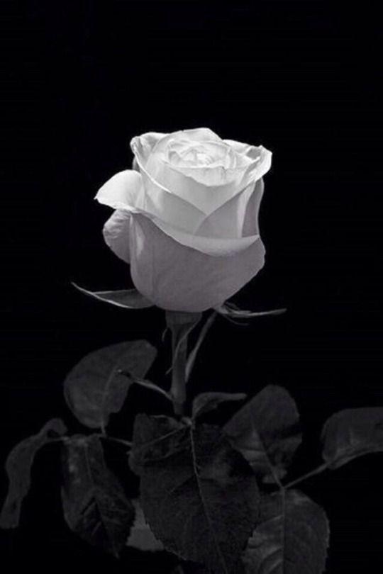 Mr November Rain Black And White Roses White Roses Black And White Flowers