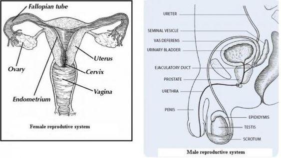 Human Reproductive Tract Parts Worksheets Google Search