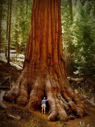 No parque nacional das sequoias nos estados unidos são encontradas muitas dessas sequoias gigantes... E bota gigante nisso!