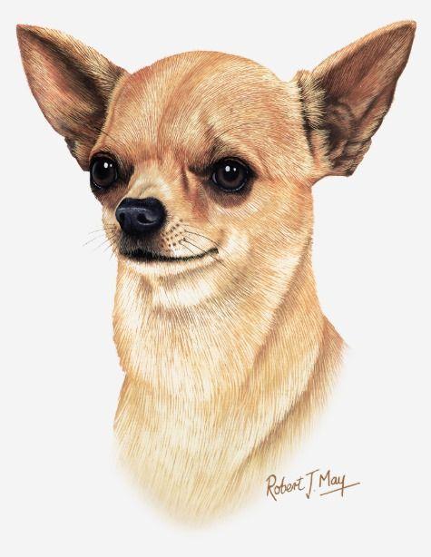 Chihuahua T Shir Chihuahua T Shirt Chihuahua Drawing Dog Drawing Chihuahua Art