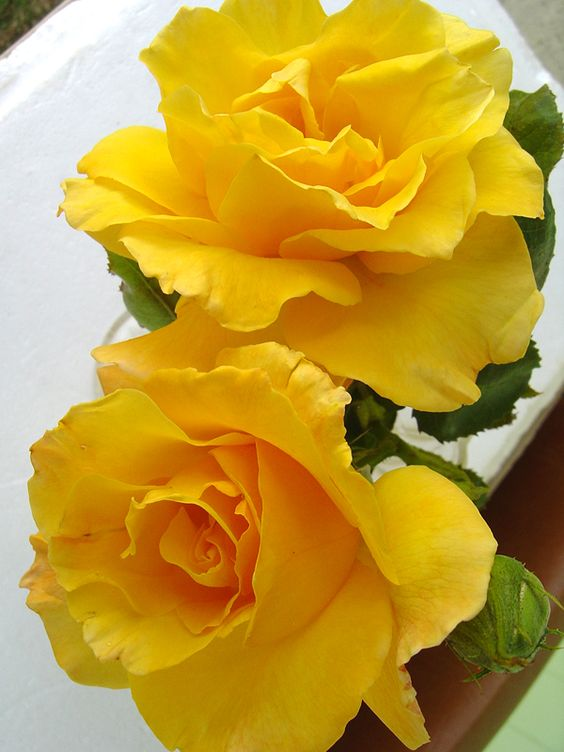 Yellow roses, Bright yellow and Roses on Pinterest
