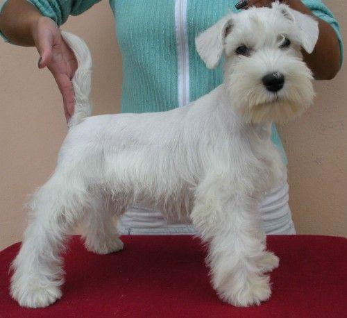 Schnauzer Miniatura Branco Canil Tu Perro Schnauzer Miniatura Branco Prontos Schnauzer Grooming Schnauzer Schnauzer Puppy